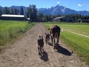 heifer and calves