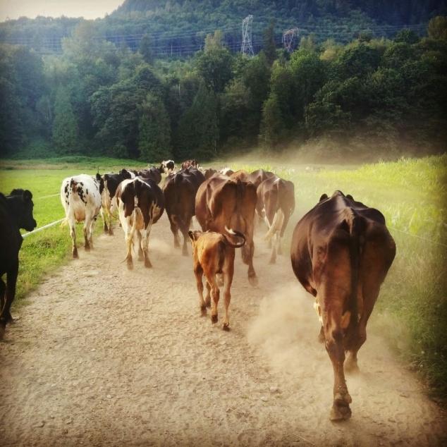 laura cows