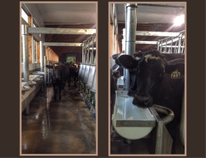 to milk a cow 213