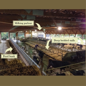 to milk a cow barn layout