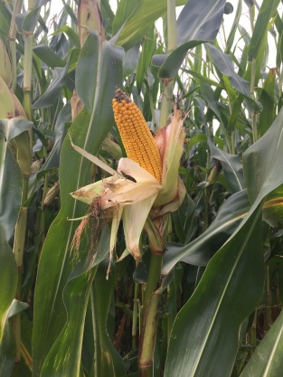 18-20 rows of kernels. 2650 heat units. Variety: organic Prime by Greenfield